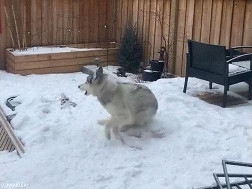 雪の上で犬がクイックターン02