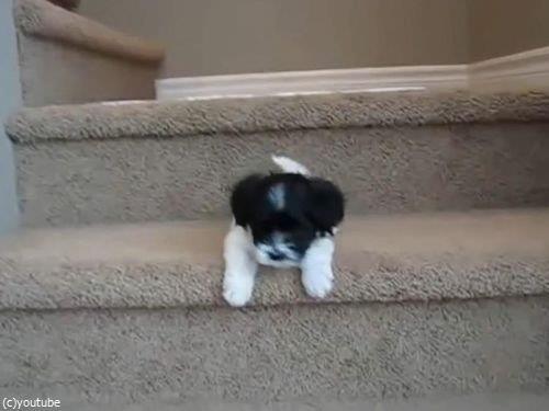 階段に苦労する子犬たち00