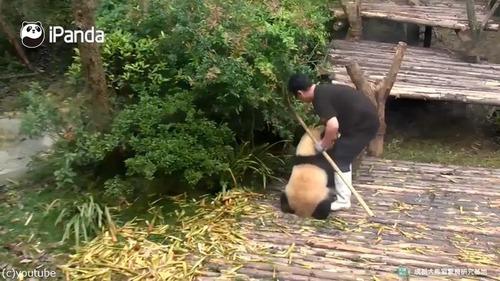 かまってほしくて仕方がないパンダ01
