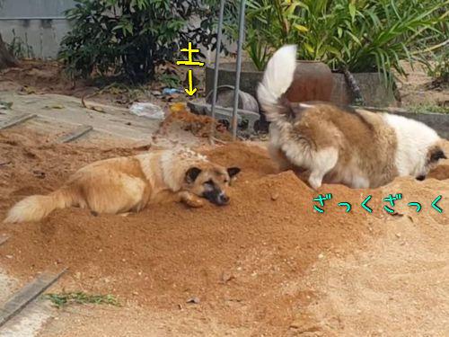 土をかぶり続ける犬00