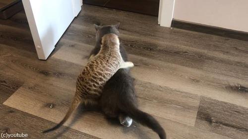 猫を寝かしつけるミーアキャット01