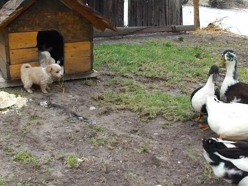 アヒルと子犬