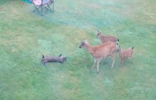 鹿の親子と遊びたいカワウソ01