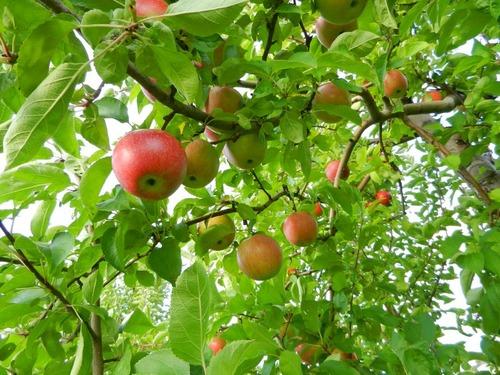 アイルランドのリンゴの木00