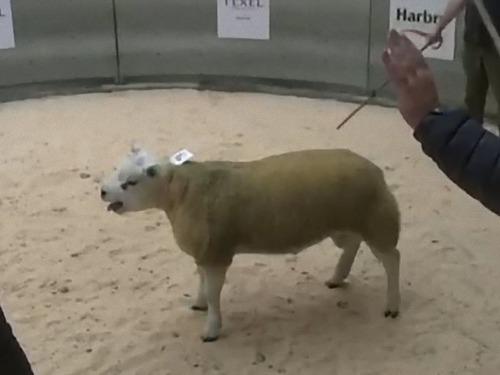 スコットランドで子羊が史上最高額で落札