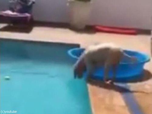 プールからボールを拾い上げる犬01