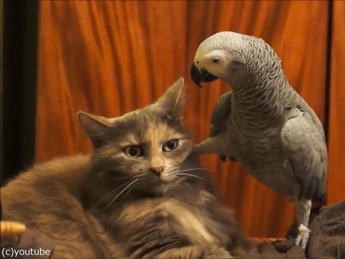 インコが猫にイタズラ00