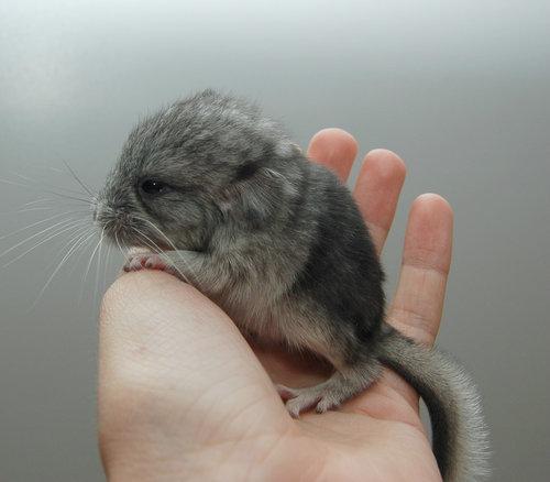 11動物の赤ちゃんたち・Baby Chinchila