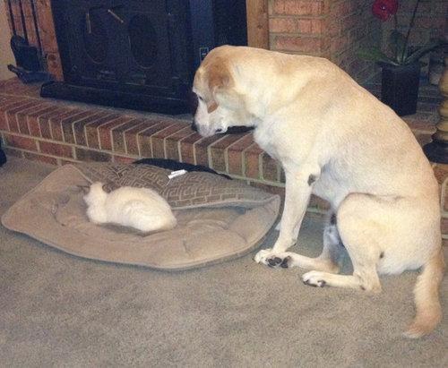 猫にベッドを奪われた犬たち10