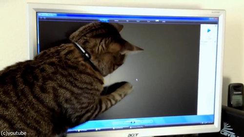 PC画面を見つめる猫06