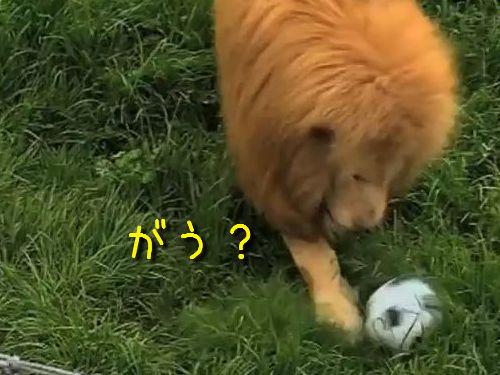 ライオンとサッカーボール