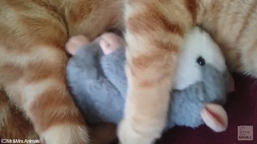 声真似おもちゃを猫に与えた結果02