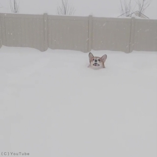 雪遊びコーギー01