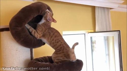 よりふかふかのベッドを探求する猫03