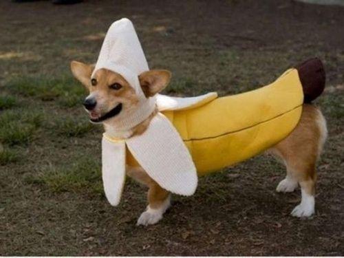 コーギー犬コスプレ03