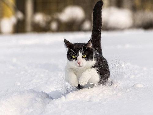 雪なんてへっちゃらな猫02
