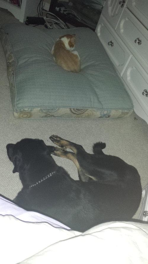 猫にベッドを奪われた犬たち01