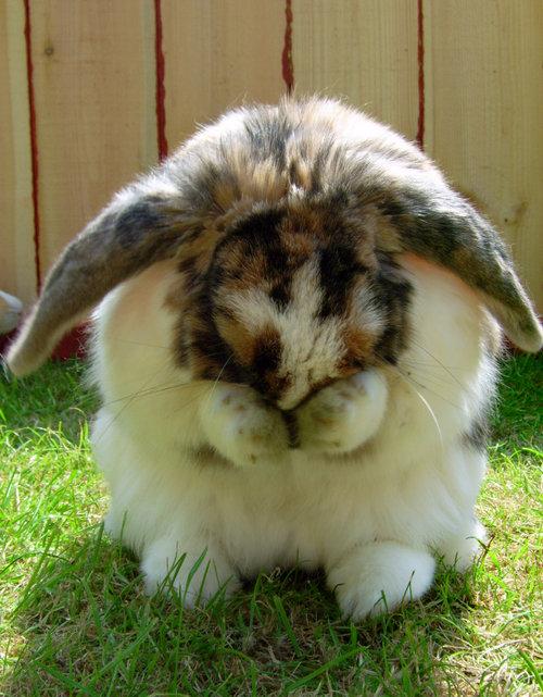 恥ずかしがるウサギ07