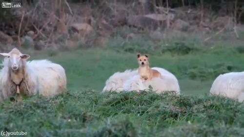 落ち着き過ぎな牧羊犬01