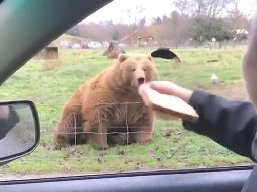 クマに食パンをフリスビーのように投げた00