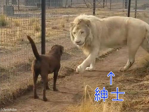 紳士なホワイトライオン00