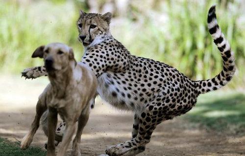 チーターと犬の友情12