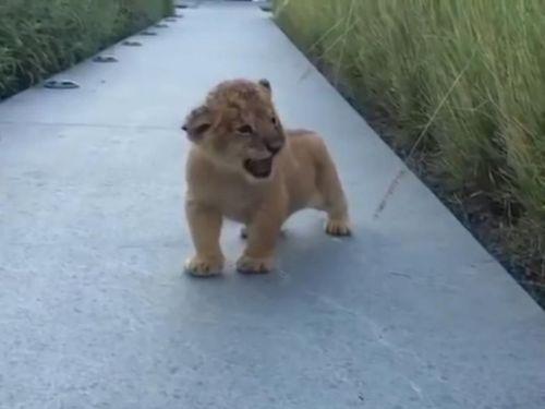 ライオンの赤ちゃん吠える02
