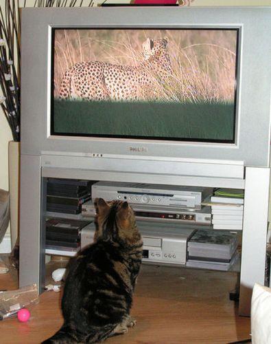 猫の番組を見つめる猫12
