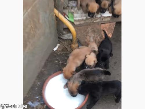 ボウルいっぱいのミルクに集まる子犬たち!焦り過ぎて…00