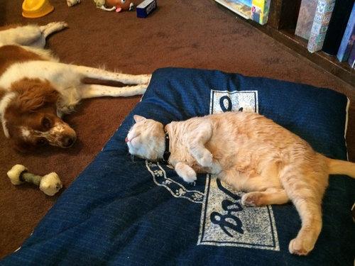 猫にベッドを奪われた犬たち13