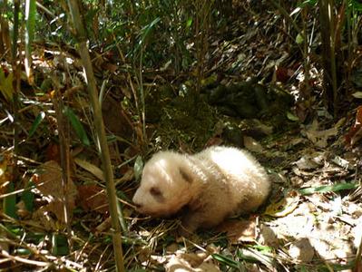 世にも珍しい茶色のパンダ