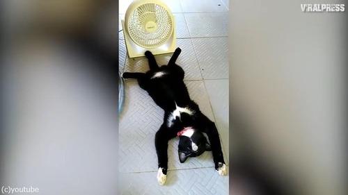 扇風機の前で野生を忘れて涼む猫01