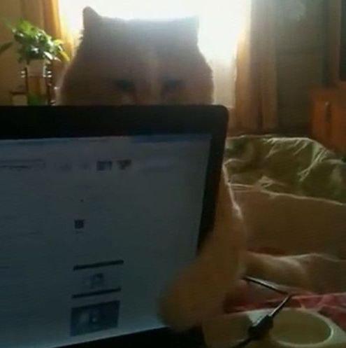ノートPCを閉じる猫01