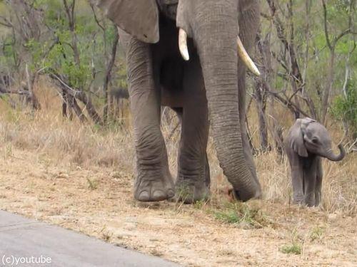 赤ちゃんゾウを守る母親ゾウ02