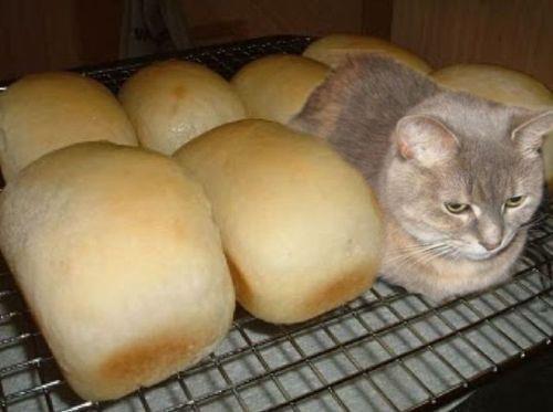 猫の「香箱座り」をパンの塊という理由04
