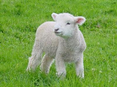 羊が一匹、二匹と消えていく空恐ろしい理由TOP