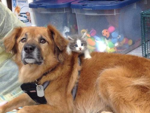 ハリケーン・カトリーナから救出された犬、猫のお母さん役となる08