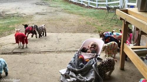 赤ちゃんヤギたちのパジャマパーティー07