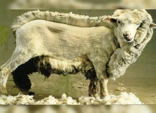羊飼いの楽しみ04