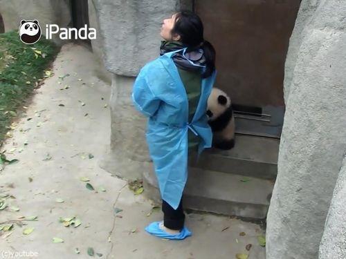 ドアストッパーな赤ちゃんパンダ06