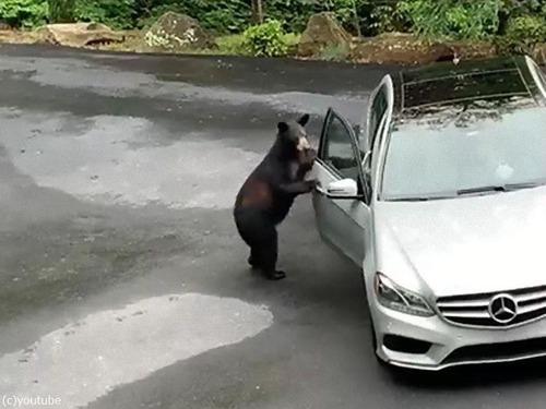 クマが車上荒らし01