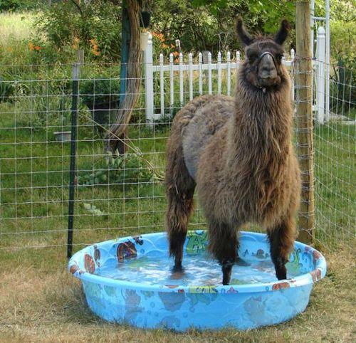 プールに動物11