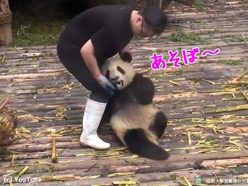 かまってほしくて仕方がないパンダ00