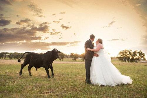結婚写真に牛06