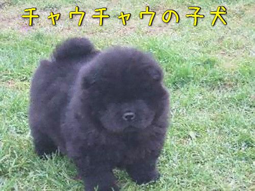 チャウチャウの子犬00