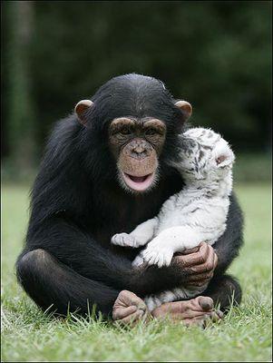 ホワイトタイガーの赤ちゃんとチンパンジー04
