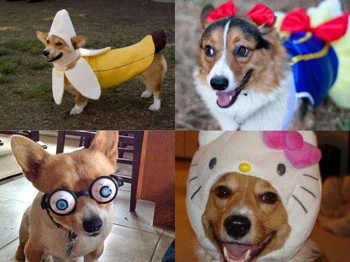 コーギー犬コスプレ00