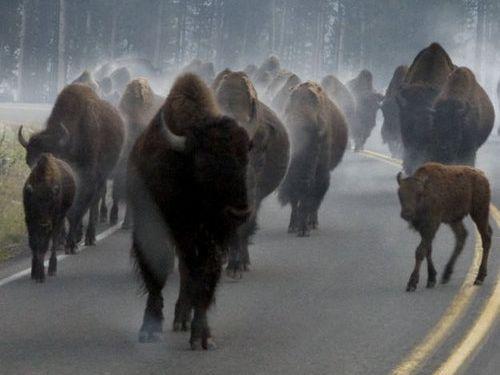 イエローストーン国立公園のラッシュアワー02