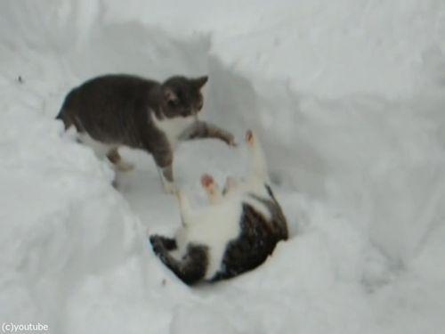 雪遊びが大好きな猫01