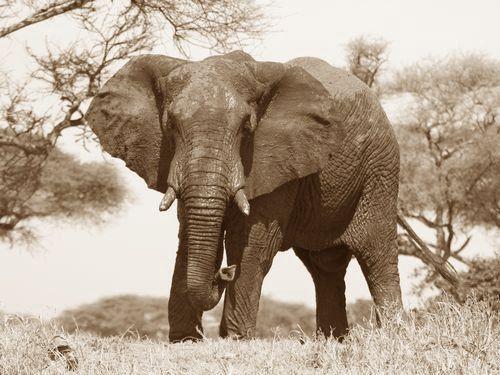 アフリカゾウの恐怖00